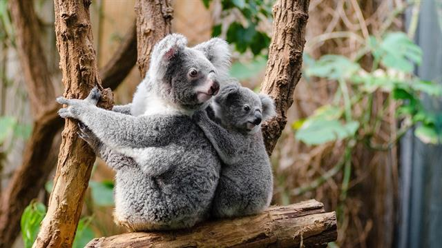 baby koala coloring pages - Clip Art Library | 360x640