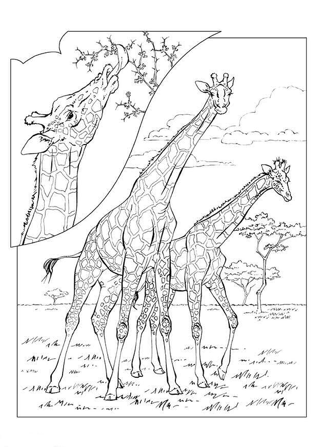 and more of these coloring pages coloring pages of animals lions zoo - Giraffes Coloring Pages
