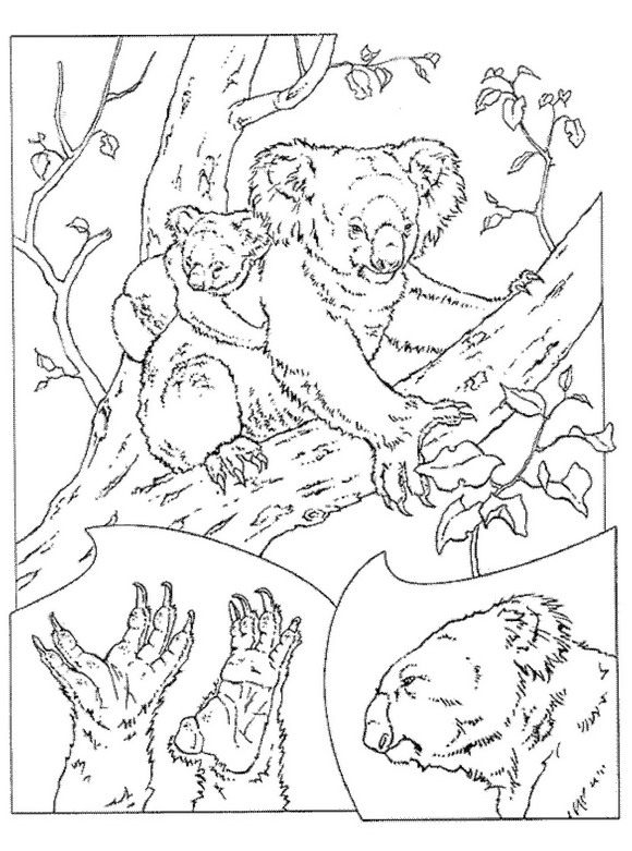 11 Koala Bears Coloring Pages