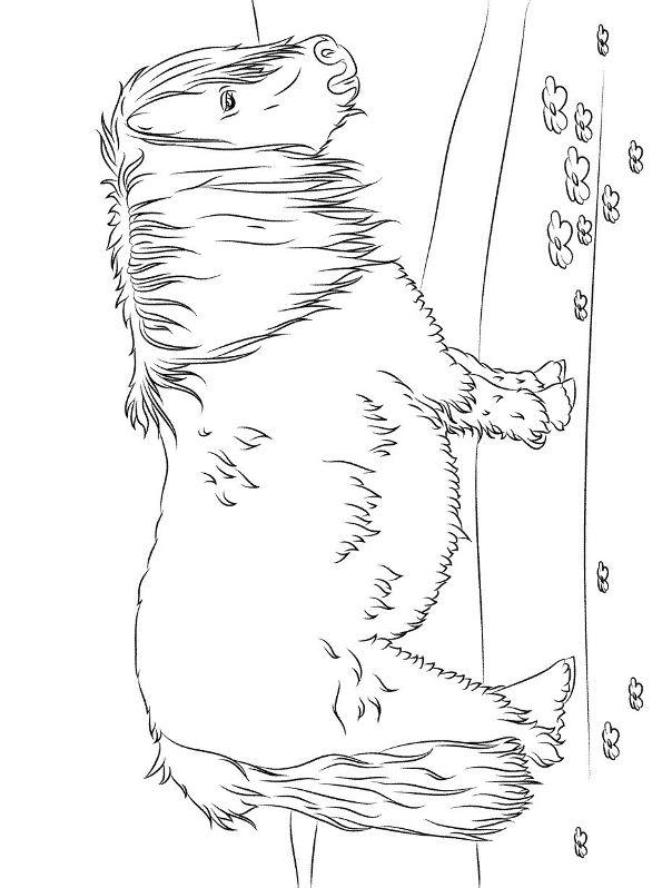 n coloring page breeds shetland