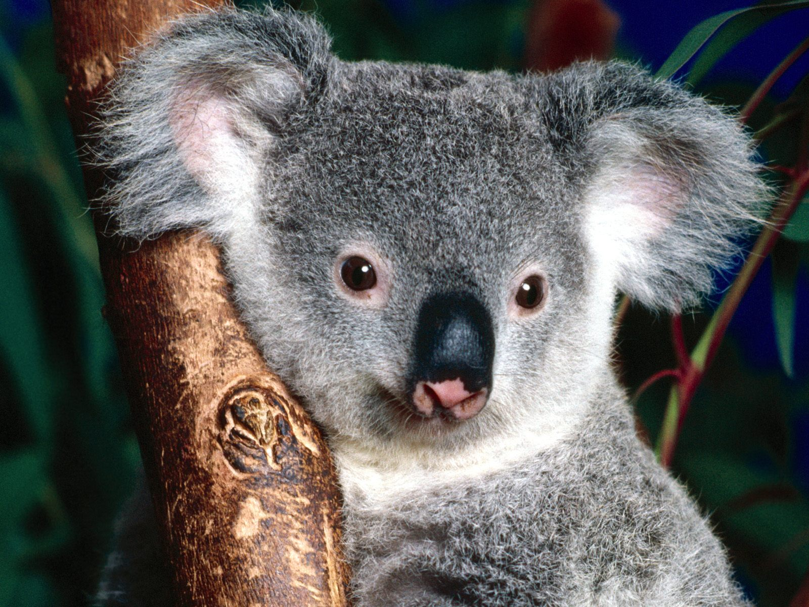 Kids-n-fun.com | Wallpaper Animals of Australia