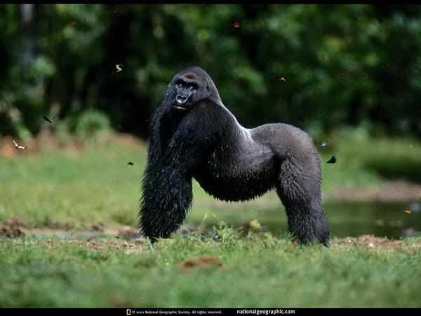 gorilla wallpaper. Gorilla